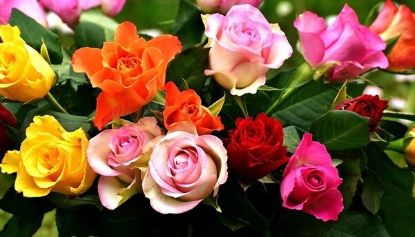 different colors roses
