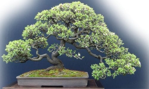 juniper bonsai gifts