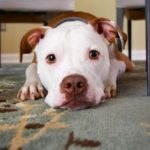 Pet Food Not People Food: 4 Tips to Train Your Dog Not to Beg