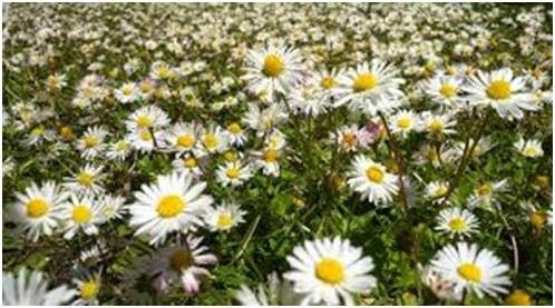 cheery daisy flowers