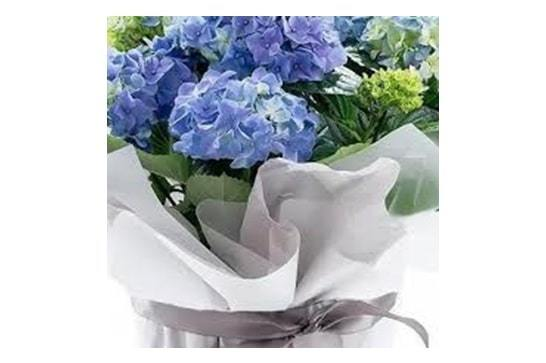 hydrangeas flowering plant