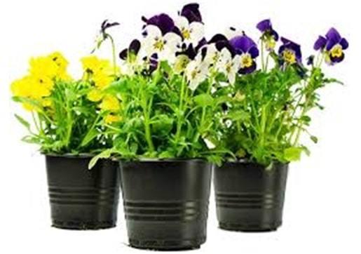 pansies floral flowers gift