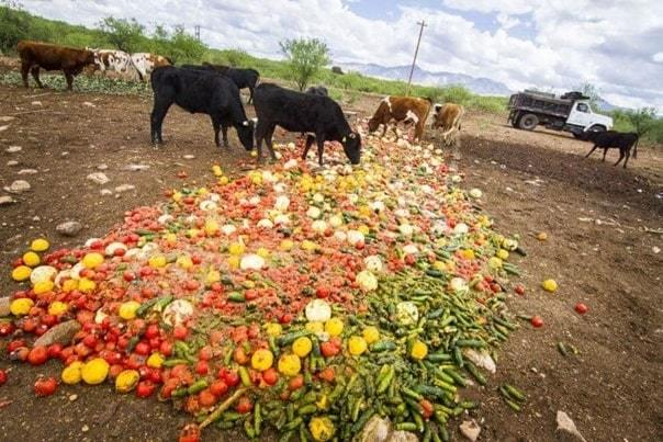 food waste in animal feed