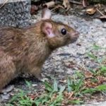 7 Suggestions for Homeowners for Mice Control in Toronto
