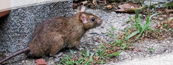 mice control in toronto