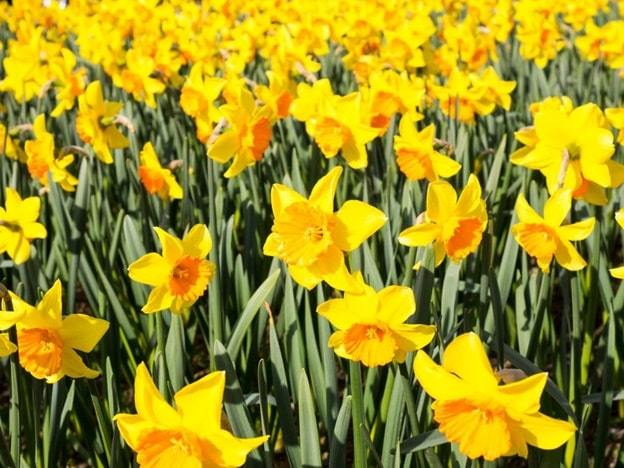 daffodils flower
