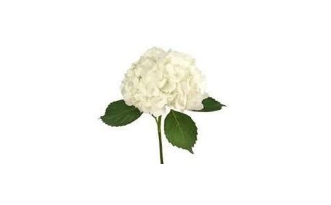 hydrangea flowers gifts