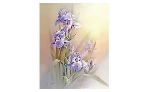 irises flowers for gift