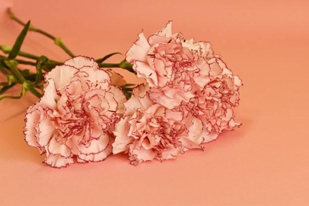pastel carnation flower