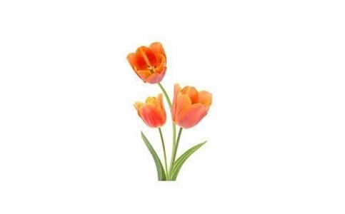 red tulips flowers gift
