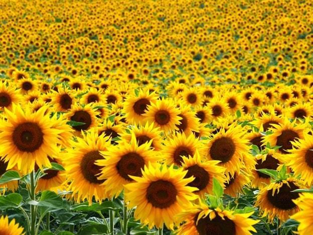 sunflowers flower