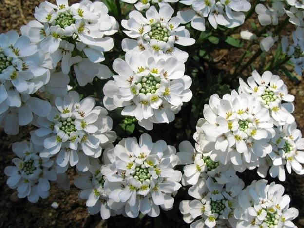 evergreen candytuft flower