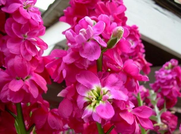 matthiola incana flower