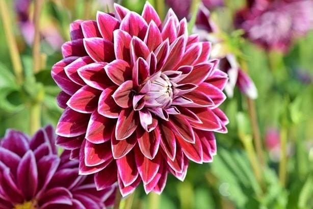 dahlias flower