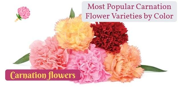 types of carnation flowers